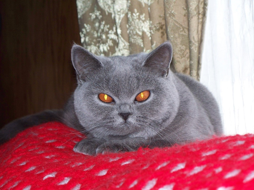 Blue Duchess Cats | British Blue Shorthair Cats and Kittens