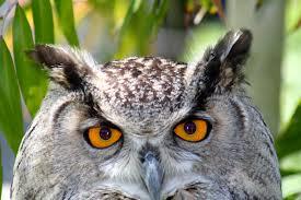 owl's eyes 2